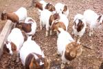 Many different species of sheeps and goats for sell