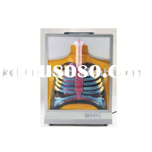 Demonstration model of respiratory system
