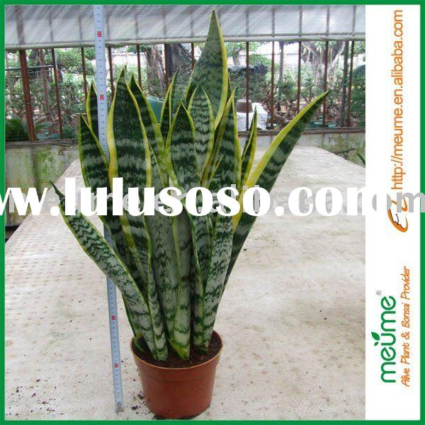 Indoor Tropical Plants Tropical Plants Sansevieria