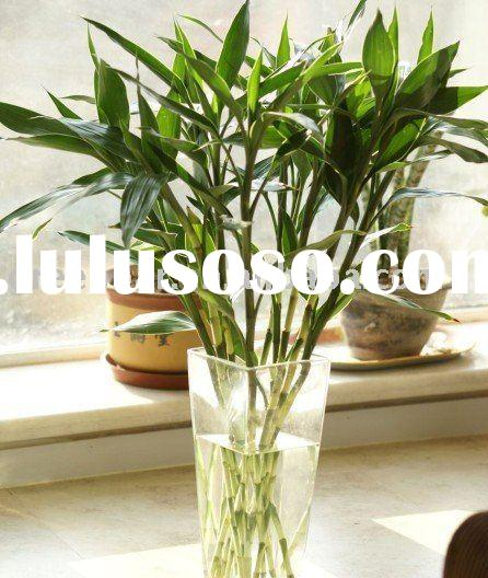 plant chinese lucky bamboo with  water bead-----bring lucky to you