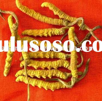 natural raw herbal health product cordyceps