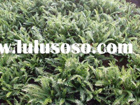 sell ```` herbs , natural herbs , raw herbs