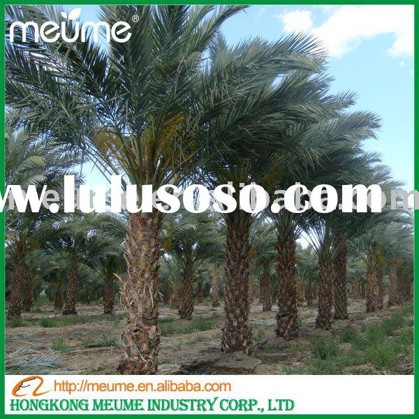 Date Palm tree for sale (outdoor landscaping plants)