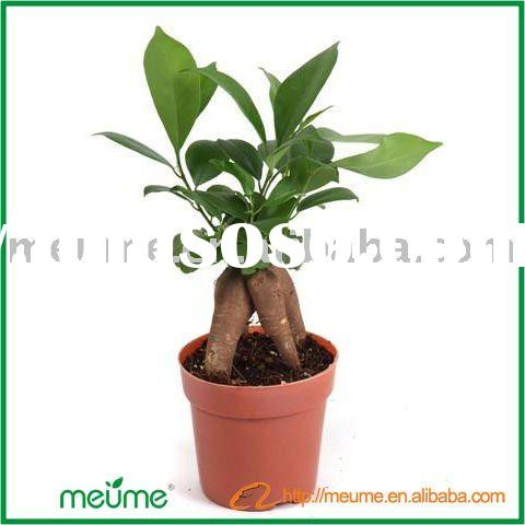 Ficus indoor mini plant(Un-grafted)