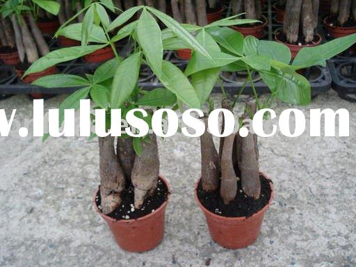 Pachira 1.5~2cm Single Money Tree Indoor Plants Bonsai