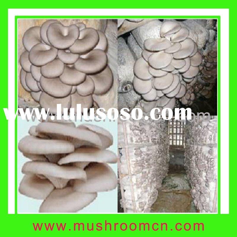 High Yield Oyster mushroom Compost cultivation