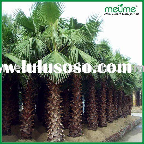 landscaping trees plants for sale (washingtonia filifera)