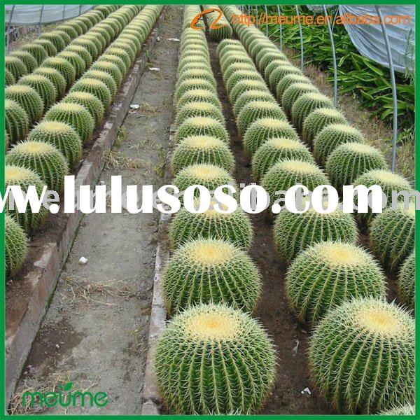 large cactus indoor ornamental plants (Golden Barrel Cactus)