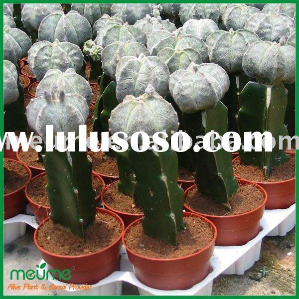 small succulent plants indoor plants (mini pet Grafted cactus)