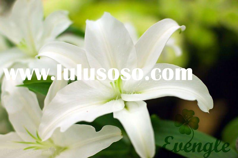 white lily flower, white lily flower Manufacturers in