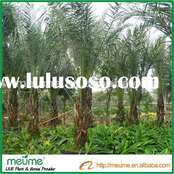 Phoenix Dactylifera (Date Palm trees for sale)