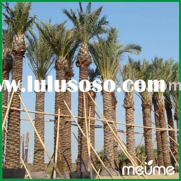 Garden plants for sale--Phoenix Dactylifera (Date Palm)