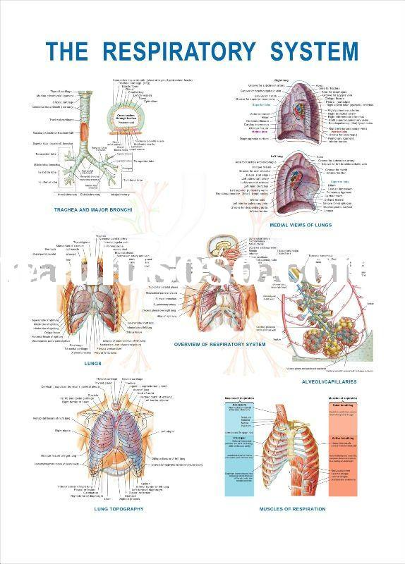 3d chart,anatomy chart, The Respiratory system