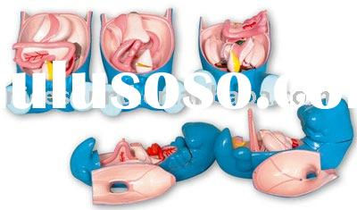 model of development of digestive respiratory and urogenital system