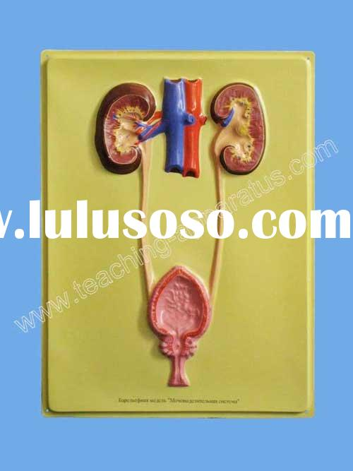 Educational Model/Urinary System/bas relief model