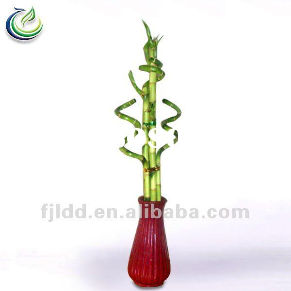 Meaning of bamboo stalks lucky bamboo 2 stalks meaning lucky bamboo 2