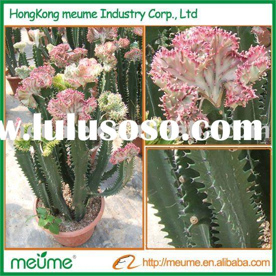 Euphorbia red flower cactus (Grafted Cactus Outdoor plants)