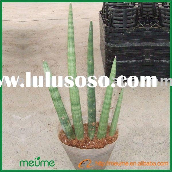 Real indoor tropical house plants (Sansevieria Cylindrica)