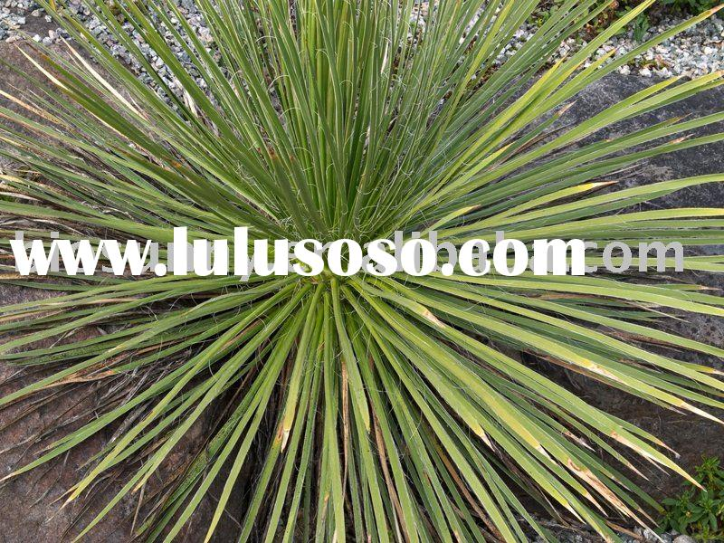 yucca extract powder