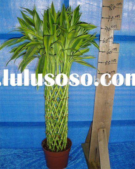Braided Dracaena Lucky bamboo (indoor Foliage plants)
