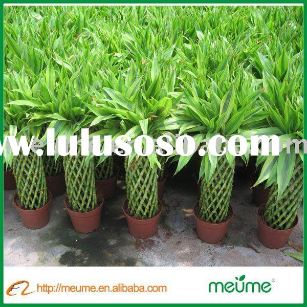 Golden Lucky bamboo ( indoor ornamental foliage plants)