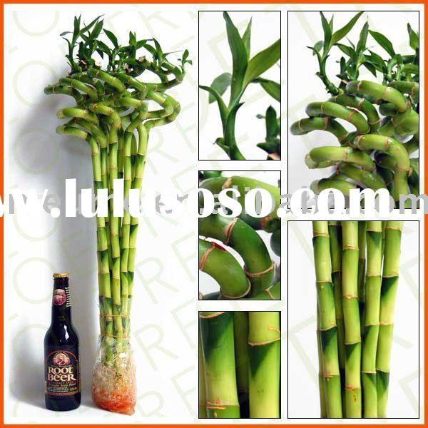 Spiral dracaena Lucky Bamboo (Indoor house Aquatic plants)