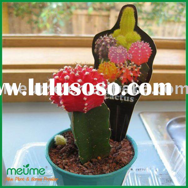 Grafted Cactus Succulent plants (red cactus plant)