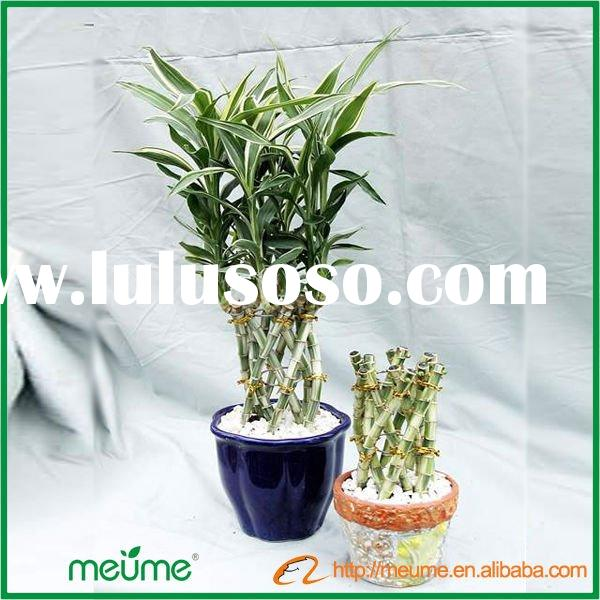 Indoor Green Ornamental Plants (braided lucky bamboo plant)