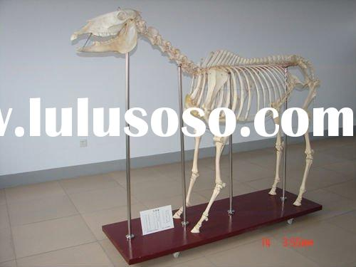 High quality horse skeleton model for teaching and medical use
