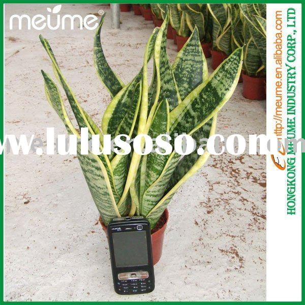 Evergreen small bonsai (sansevieria indoor plants)
