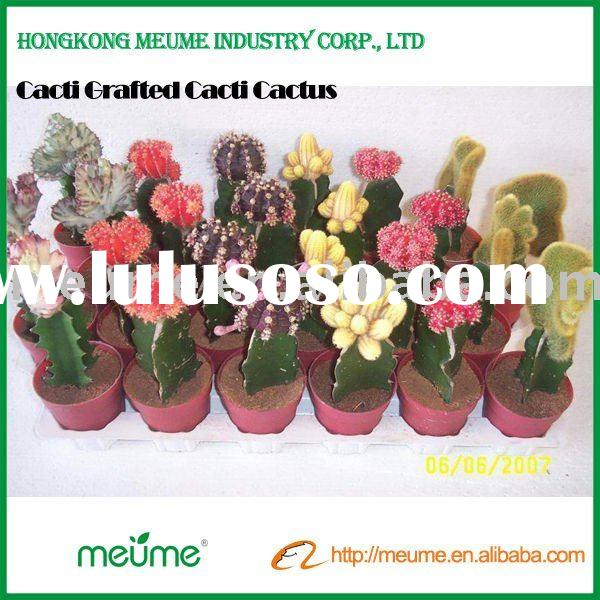 indoor cactus flowering plants (Grafted red cactus plant)