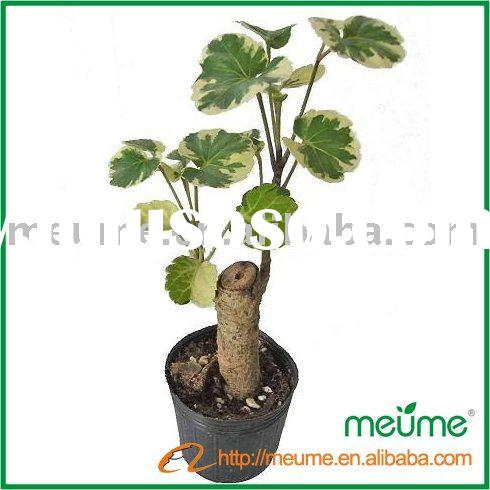 Aralia--indoor Bonsai plants