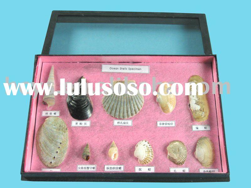 Samples of 11 types of sea shells/Animal Specimen