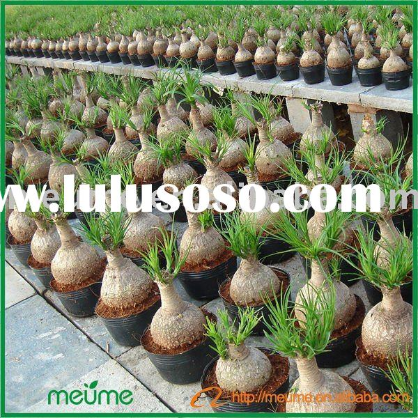 Ornamental Indoor & outdoor Green plants (Nolina recurvata)
