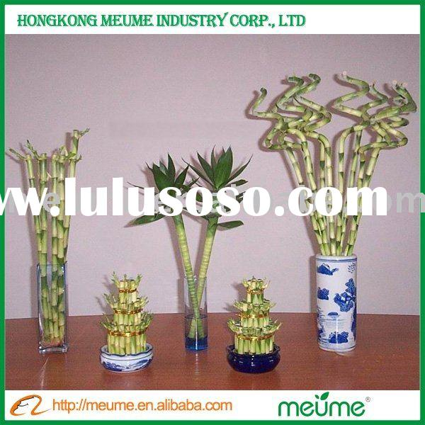 Indoor evergreen ornamental plants (Lucky bamboo)