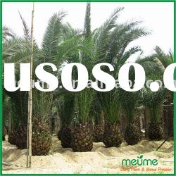 Phoenix canariensis Palm tree for sale (outdoor plants)