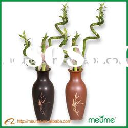 Spiral lucky bamboo (Indoor evergreen ornamental plants)