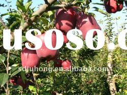 Red Delicious Apple/Huaniu apple Factory