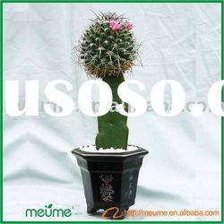 mini Grafted cactus (small succulent plants indoor plants)