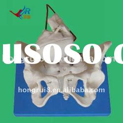 Pelvis model,midwifery teaching model,doctor's gift,teaching female pelvis model