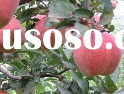 offer Chinese fresh red star apple(hot apple)